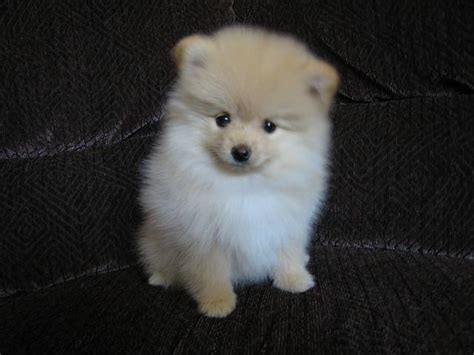 looking for pomeranian puppy 40 pomeranian puppy pictures and photos