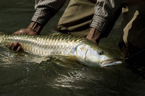 ikan kelah portal berita eksklusif ikan kelah dan golden mahseer ikan kelah pinterest