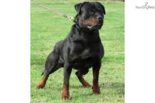seattle rottweiler puppies rottweiler puppy for sale near seattle tacoma washington 621983ac 4161
