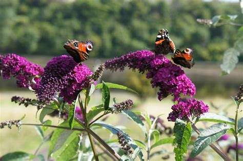 propagating butterfly bush how to grow butterfly bushes from a seed or cutting