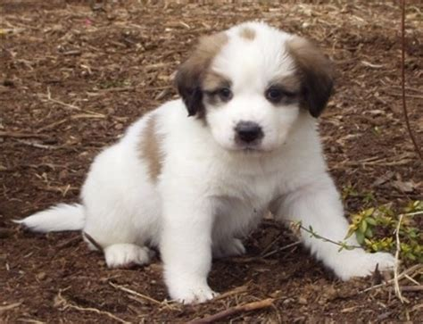 st bernard mix puppies for sale great pyrenees st bernard mix puppies for sale photo breeds picture