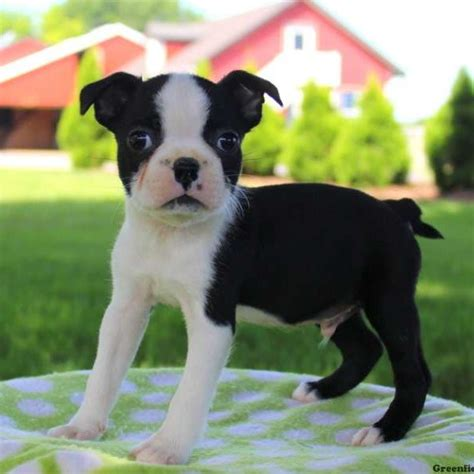 pitbull puppies for sale in nebraska boston terrier puppies for sale in pa