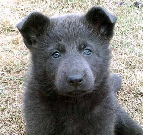blue german shepherd puppies for sale 404 not found