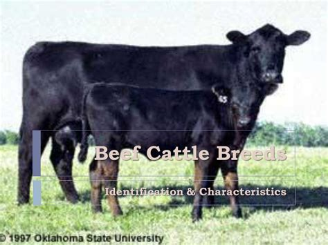 identify breed by characteristics identification characteristics ppt
