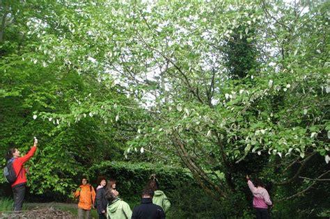 b ume g nstig kaufen 581 davidia involucrata kaufen taschentuchbaum davidia