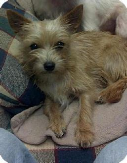 cairn yorkie mix spartanburg sc yorkie terrier cairn terrier mix meet brayla a for