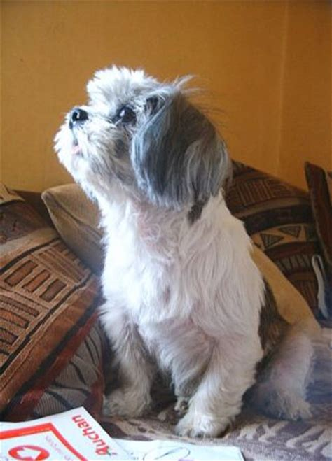 where did the shih tzu originate from shih tzu breed information history health pictures and more