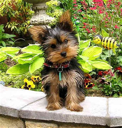 yorkie barks at everything terrier dogs barking beast