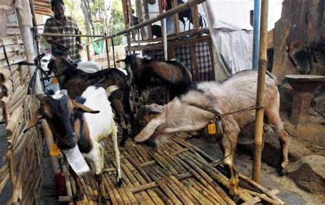 bukalapak hewan qurban bisnis online beli kambing kurban di bukalapak dapat