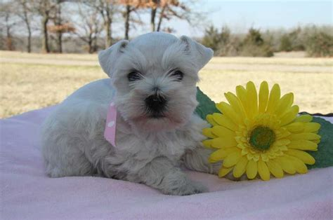 teacup puppies for sale in oklahoma teacup miniature schnauzer breeds picture