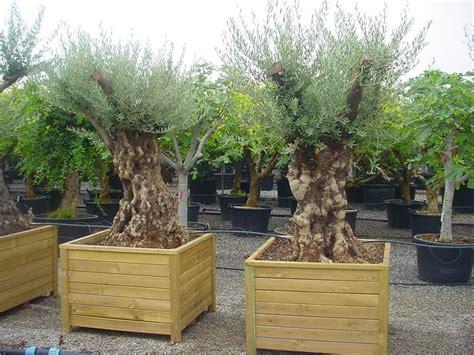 olivenbaum garten exotische und mediterrane gartenpflanzen eine