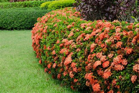 Flowering Garden Plants Things You Need To About The Flowering Ixora Plants