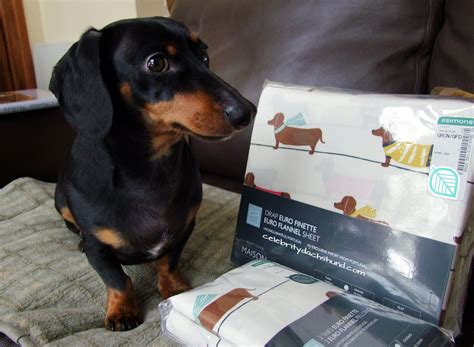 dachshund bed chef crusoe the dachshund cooks christmas dinner opens