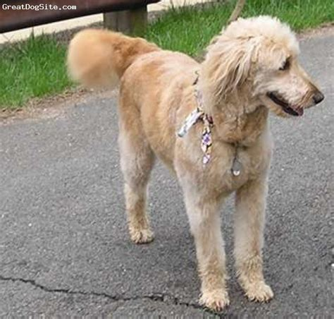 doodle rescue goldendoodle katy perry buzz newhairstylesformen2014