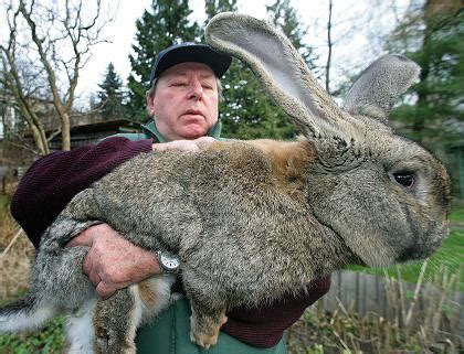 Extremes: the Grey German Giant Rabbit « Creepy Animals