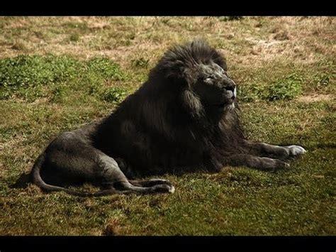 imagenes de leones a blanco y negro el le 243 n negro 191 existi 243 la verdad sobre el le 243 n negro