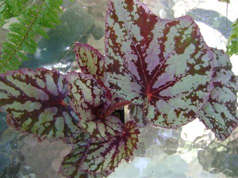 toni s begonias episcias quilts hobby pets blog