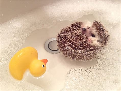 hedgehog bathtub contest what kind of animal are you randomactsofmakeup