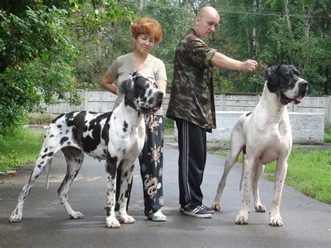 german great dane puppies for sale great dane puppies for sale b breeds picture