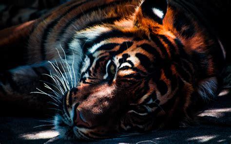 tiger closeup wallpapers hd wallpapers id