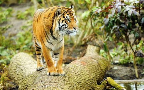 imagenes 4k tigre tigres para tu fondo de pantalla hd taringa