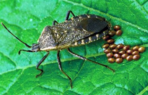 bed bug help preventative measures can help to control squash bugs