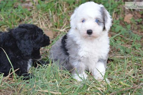 puppies for sale in washington dc sheepadoodle a sheepadoodle puppy for sale near washington dc f8ae91eb c731