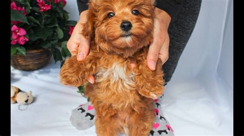yorkie poo los angeles roofus the colored yorkie poo puppy for sale in los angeles