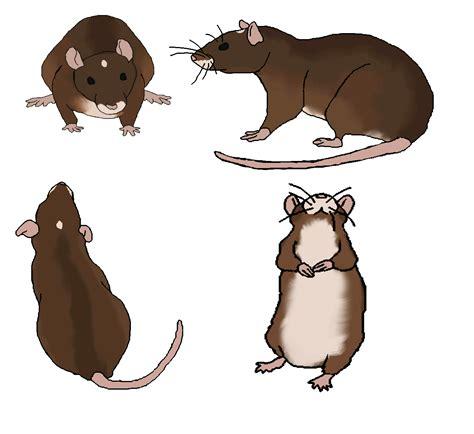 rat colors rat colors and patterns