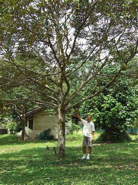 Rumah Pohon Paw Patrol Big Tree le durian et fruit 224 forte odeur
