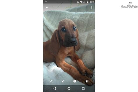 bloodhound puppies for sale in florida bloodhound puppy for sale near central fl florida 6304fded 8a91