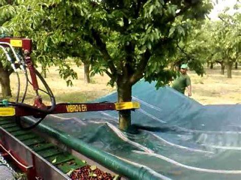 dawson v cherry tree machine cherry harvesting