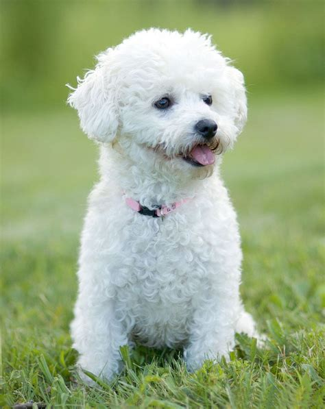 bichon frise bichon frise pictures posters news and on your pursuit hobbies interests