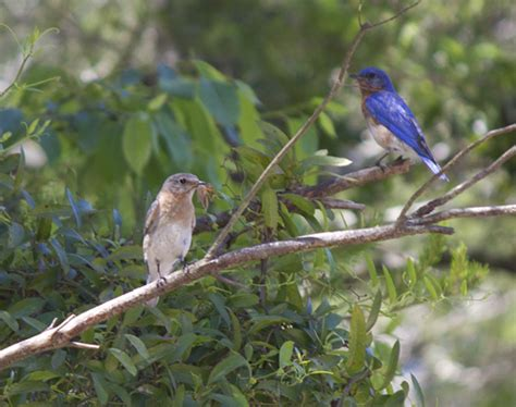 attracting bluebirds to your backyard attract nesting bluebirds to your yard walton outdoors