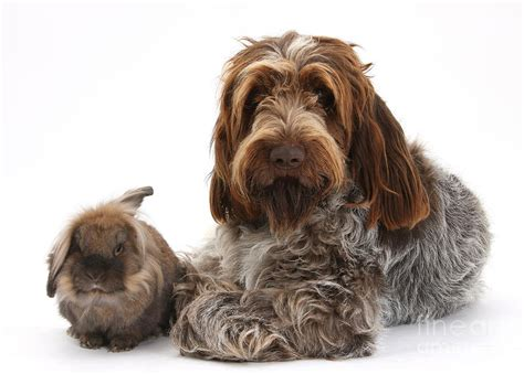 italian spinone puppies brown roan italian spinone photograph by