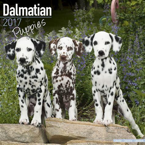 dalmatian puppy price dalmatian puppies calendar 2017 pet prints inc