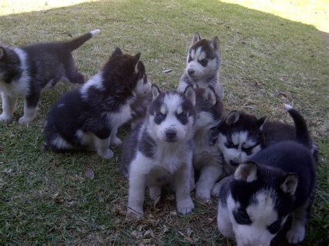 dogs for sale in alaska alaska malamute puppies for sale pets nigeria