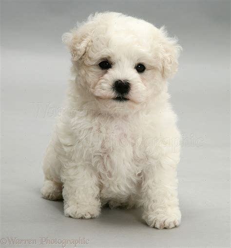 bichon frise puppies bichon frise puppy on grey background photo wp11720