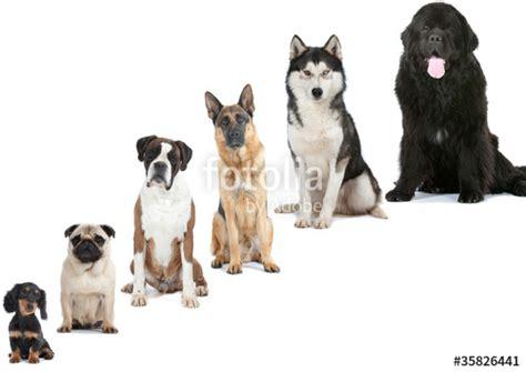different races of dogs quot six races de chiens du plus petit au plus grand quot photo