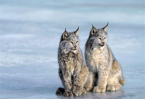 victory  canada lynx brave  wild wildearth guardians