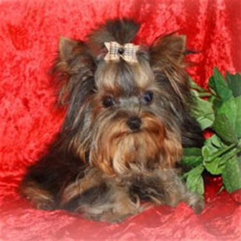 yorkie average size designer puppies morkies maltipoos maltipoos and more