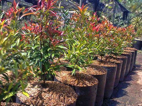 ciri klasifikasi  manfaat  tanaman pucuk merah