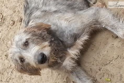wolfhound puppy price wolfie babies wolfhound puppy for sale near grand rapids michigan 7386598b e191