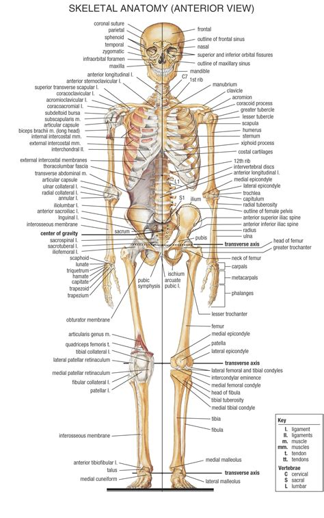 human bone system human skeletal system labeled front and