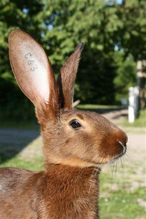 b07csr31fb la tete du lapin bleu le li 232 vre belge ou lapin li 232 vre le pur sang des lapins