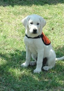 white lab puppies for sale in nc labrador retriever puppies white photo