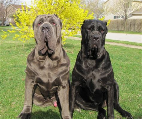 mastiff breeds neapolitan mastiff breed guide learn about the neapolitan mastiff