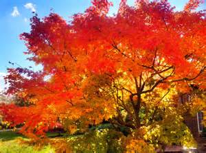 japanese maple in fall by o2bdiving photo weather