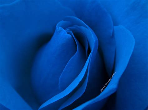 blue wallpaper pink roses hd wallpaper of blue rose hd wallpapers