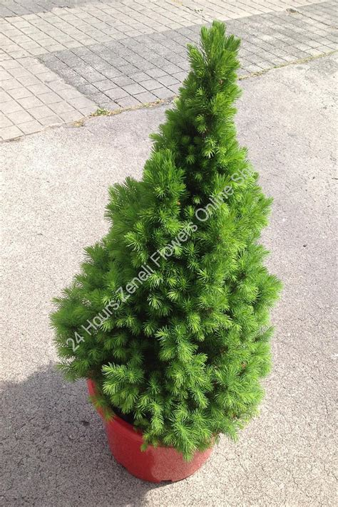 picea glauca christmas star christmas pot tree chr02